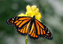 monbutterfly
